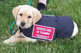 Image of: Registration Service Animals Are Typically Dogs Animal Health Foundation Pig On Planeu2026not So Much Emotional Support Pig Too Unruly To Fly