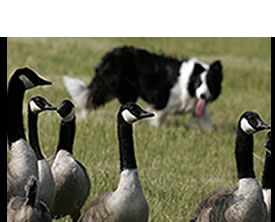 border collie with geese
